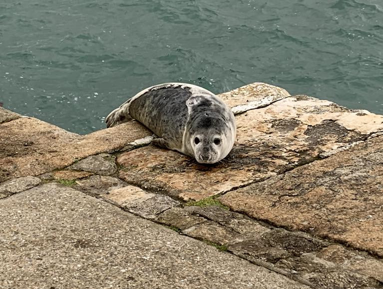 New arrival - A Seal at the East Pier, Dun Laoghaire