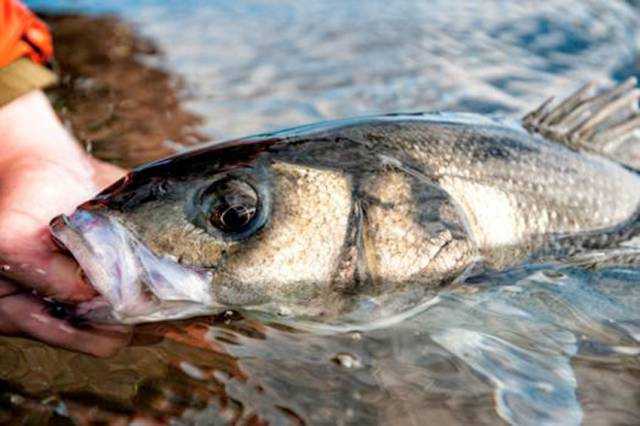 Angling for bass is an important resource to Ireland's South East