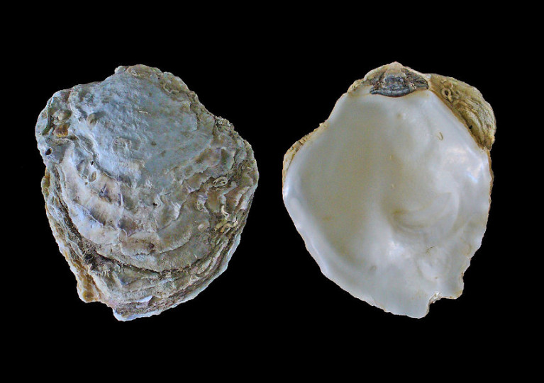 The European flat oyster Ostrea edulis was last recorded in Belfast Lough in the Victorian era