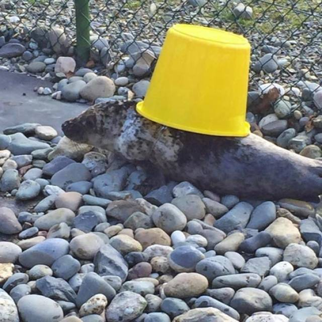 Poison Ivy plays with a bucket at the Wexford seal sanctuary that nursed her back to health