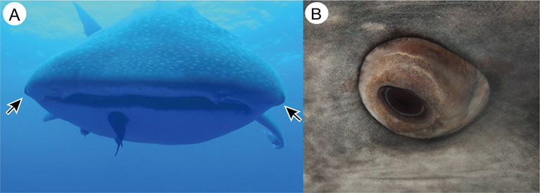 Eyes of the whale shark. A. Anterior view of the whale shark, showing the locations of the eye (arrows). Note that whale shark eye is well projected from the orbit. Photo was taken in the sea near Saint Helena Island. B. Close-up view of the left eye of a captive whale shark
