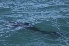 A juvenile basking shark in Irish waters