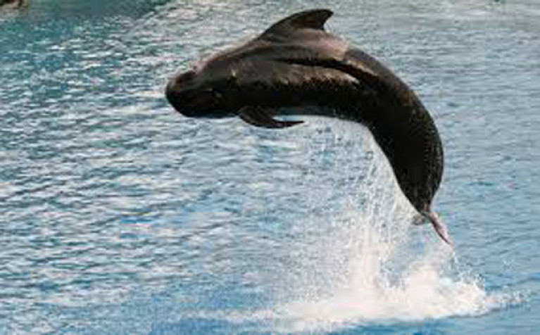 Pilot whale jumps for joy? Maybe so, but try to imagine this in the confines of Baltimore Harbour, when Albert in his prime would have weighed three tons