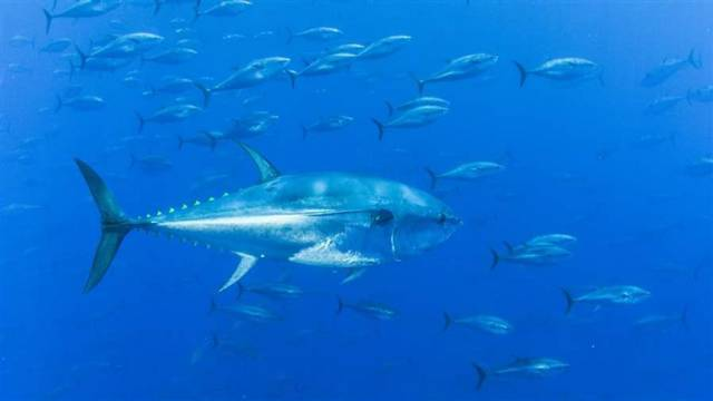 Irish Anglers to Participate in Data Gathering for Bluefin Tuna