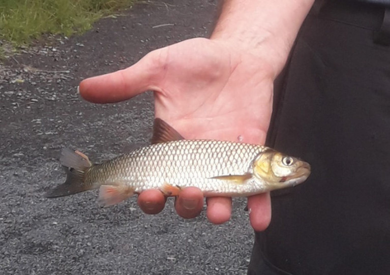 The chub caught from the River Inny by fisheries staff this past June