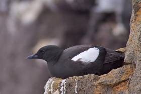 Black guillemots near Rathlin Island now have their own protected zone, the first of its kind in the UK