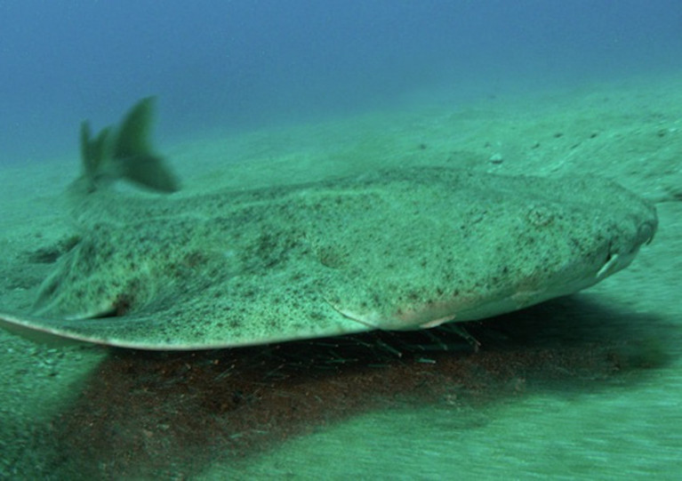 Angel sharks are among the species believed to use the nursery hidden under Tralee Bay