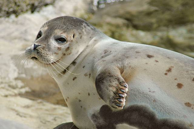 Exploris in Portaferry is currently caring for a number of seal pups like this one
