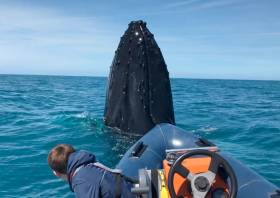 The humpback whale spyhopping off the bow of Terry and Tomás Deane's RIB