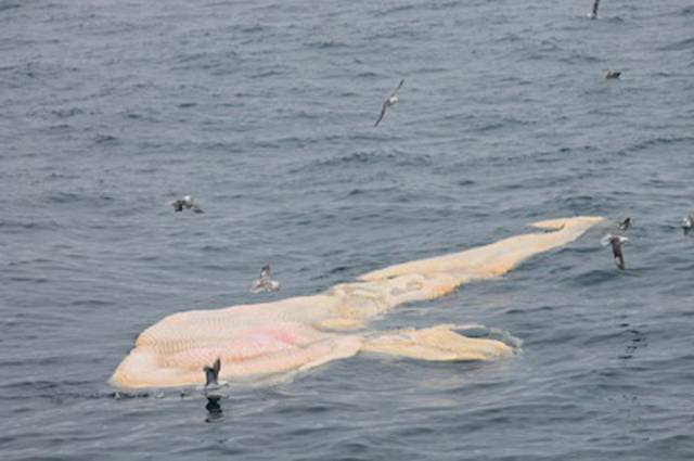 Large Carcass Spotted In Celtic Sea Area Popular With Fin Whales