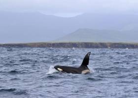 Killer whale John Coe spotted off Slea Head in Co Kerry on Monday 27 June