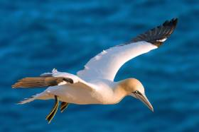 Little Skellig hosts Ireland's largest colony of northern gannets