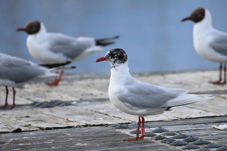 Long distance traveller - the Mediterranean gull in Bangor Marina