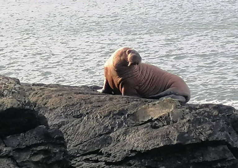 Arctic Walrus Spotted on Co Kerry Coast