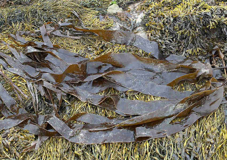 Oarweed found in Britain and Ireland is distinct from two other genetic groups in the North Atlantic, with closer relation to high Arctic kelp